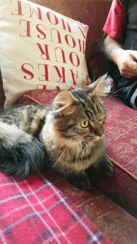 MaleMaine coon kitten