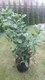 3 Cherry Laurel Hedges Plants