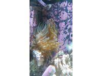 Green/Purple Bubbletip Anemone