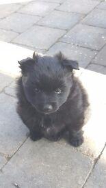 2 Fluffy female black pomeranian pups