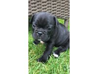 French bull dog puppies for sale
