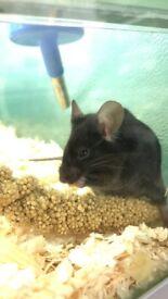 Female fancy mice for sale