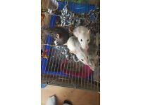 5 pet rats, female