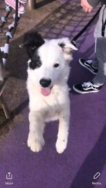 Full breed border collie with papers
