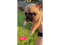 Quad Carrier French Bulldogs (all KC registered)