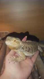 Bearded dragon and all equiptment including vivarium
