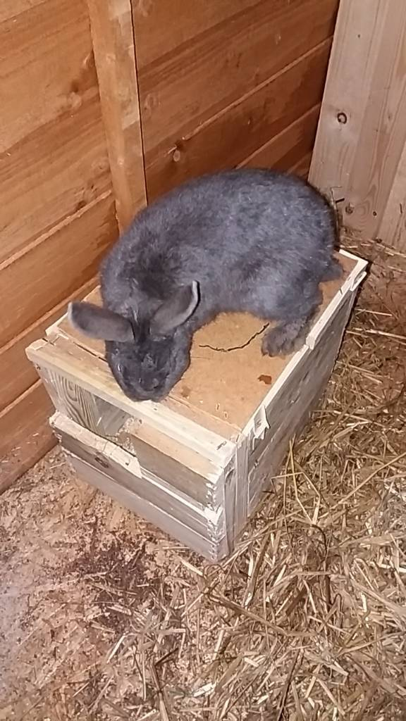 Male rabbit dutch cross grey