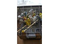 Budgies for sale £10 each