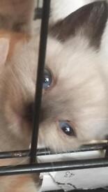British shorthair kittens cream lilac gingery girls 1 boy