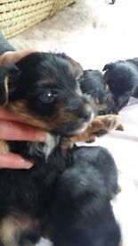 Yorkshire Terrier Puppy - just one boy left - teddy bear hair - gorgeous ready to go!