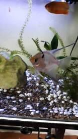 Female Angel fish