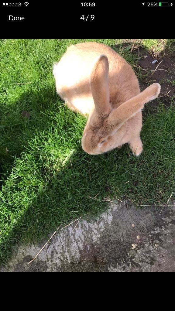 Continental giant & French lop rabbets for sale