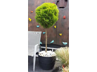 Topiary lollipop Goldcrest tree. Garden plants flowers shruds ornaments furniture table chairs