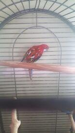 2 rosella parrots 1 male 1 female