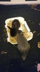 Two Dwarf Rabbits For Sale