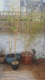 Bamboo plants x 3
