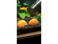 I have 2 severum gold and 1 angel fish for sale