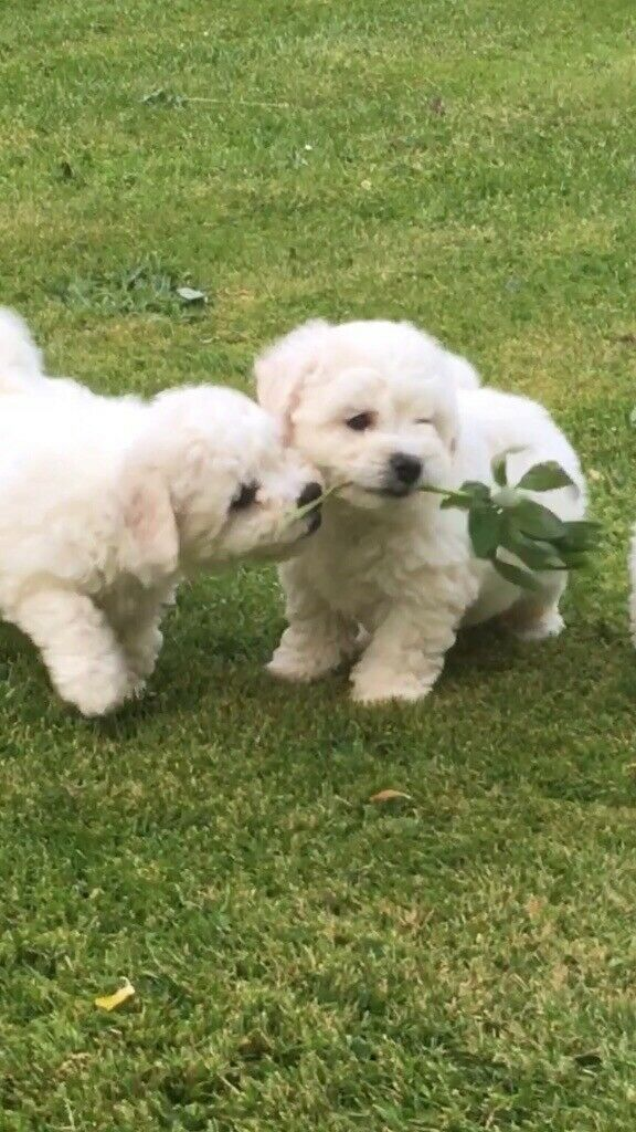 Bichon-Frise puppies for sale | in Perth, Perth and Kinross | Gumtree