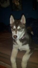 3 MONTH OLD HUSKY FEMALE PEDEGREE PUPPY