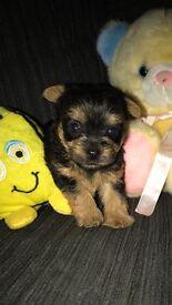 Mini yorkie puppy's