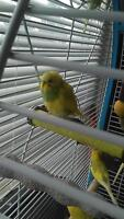 Belted budgies rare