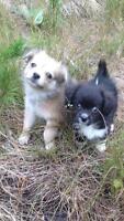 POM/CHI x SNOW DOG PUPPIES super smart, cute, first shots