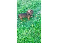 KC Registered mini smooth dachshund pups for sale
