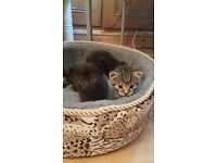 Kittens for sale dronfield