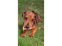 Minature dachshund pups