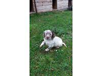 Sprocker puppy