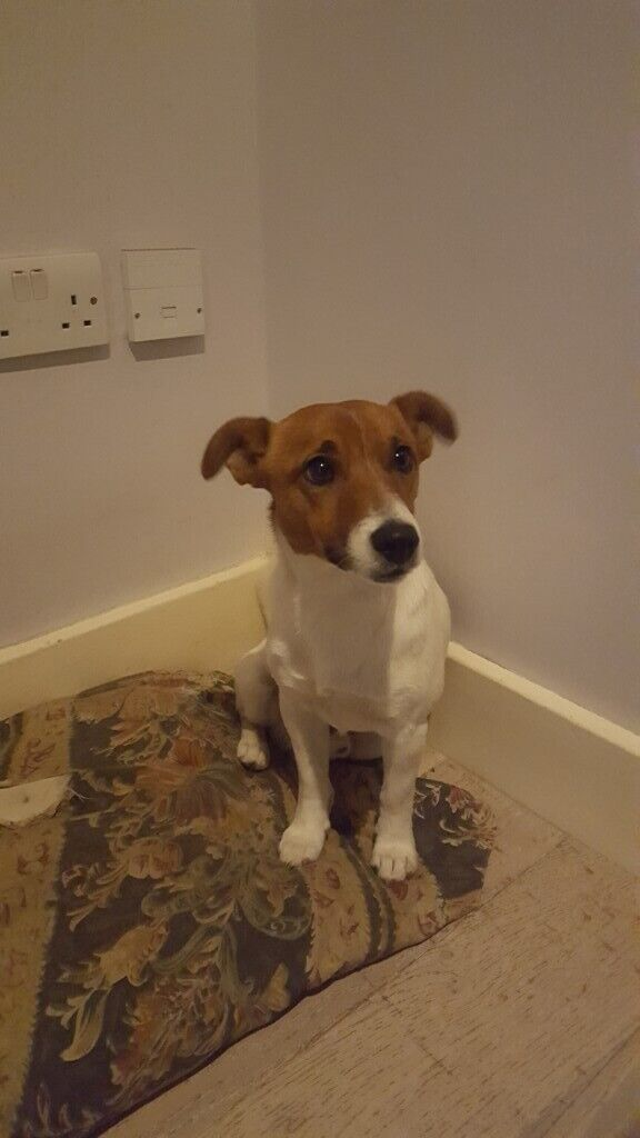 LOVELY 1 YEAR OLD JACK RUSSELL/BEAGAL FOR SALE £250 | in Croydon, London |  Gumtree