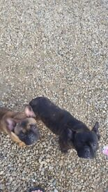 2 french bulldogs for sale