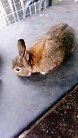Male dwarf rabbit 2 years old