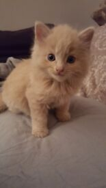ginger /beige male kitten for sale