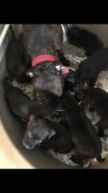 7 STAFFY PUPPIES FOR SALE