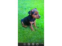 lakeland puppy for sale