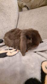 2 gorgeous mini lop bunnies