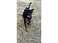 Female Rottweiler nearly 2 yrs old
