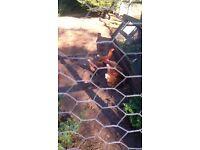 8 Hybrid Bovan Goldline hens for sale.