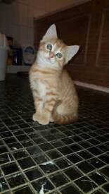 Ginger male kittens for sale
