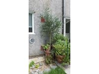 olive tree 8ft approx.in large pot