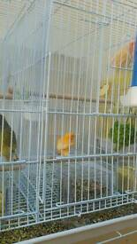 Pairs canary for sale