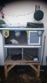 2 lion head rabbits with set up