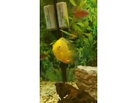 Bright Yellow Severum