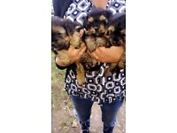 Lovely Shitzu and Yorkshire Terrier boy Puppys for sale 4 boys