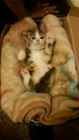 kitten ragdoll tabby open to offers