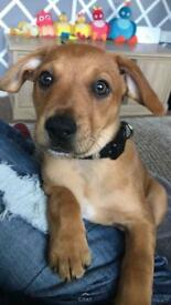 Padderdale puppy