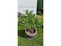 Money Plant, very large size, in heavy ceramic pot, choice of 2 available