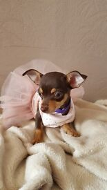 Chocolate Chihuahua Girl & Boy FULLY VACCINATED & MICROCHIP READY NOW !