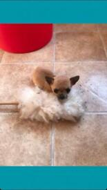 Full breed chihuahua 8 weeks old ready now